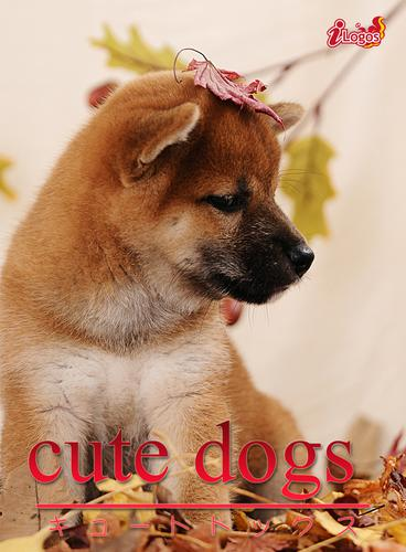 cute dogs06 柴犬 / アキバ書房
